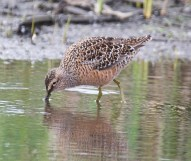Long-billed Dowitcher (BA)