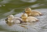 ducklings (BA)