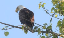 Bald eagle (JK)