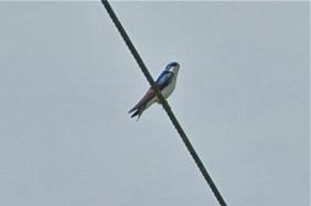 Tree Swallow (KB)