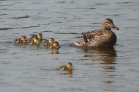 Mallard (f) & ducklings (Pat)