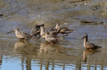 Long-billed Dowitchers (TC)