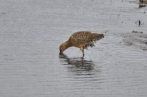 Long-billed Dowitcher (GB)