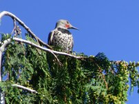 Northern Flicker (TC)