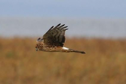 Northern Harrier (TC)