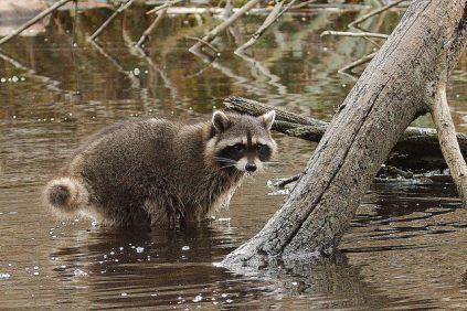Raccoon (PS)