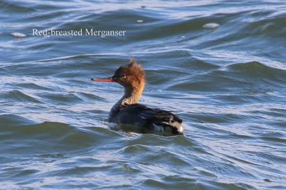 Red-breasted Merganser (TC)