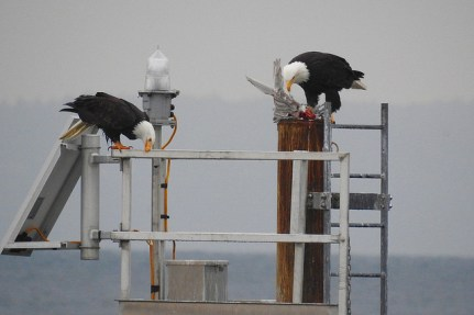 Bald Eagle pair (BA)