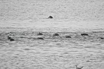 pack of Harbour seals (BA)