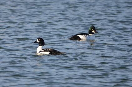 Barrow's Goldeneye & Common Goldeneye (CMcV)