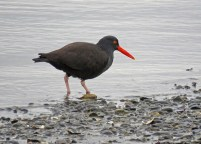 Black Oystercatcher (DH)