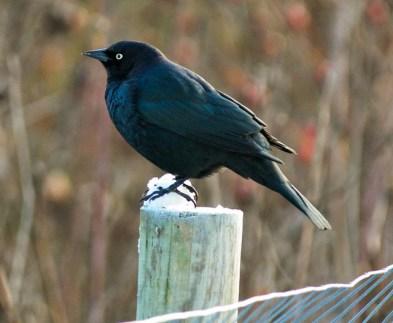 Brewer's Blackbird (GB)