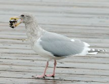 Glaucous-winged Gull (TC)