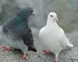 Rock Dove pair (PS)