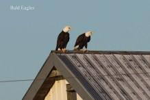 Bald Eagles (TC)