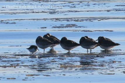 Black-bellied Plover + one small Dunlin (TC)
