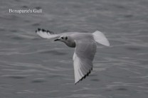Bonaparte's Gull (TC)