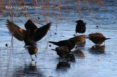Red-winged Blackbirds (TC)