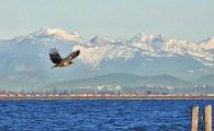 Bald Eagle (BA)