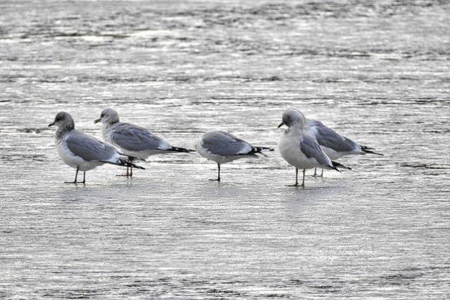 Mew Gulls (BA)