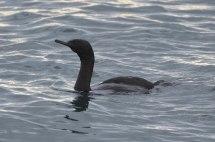 Pelagic Cormorant (CMcV)