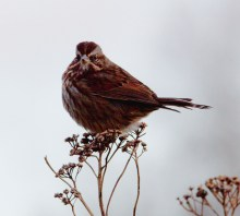 Song Sparrow (MS)