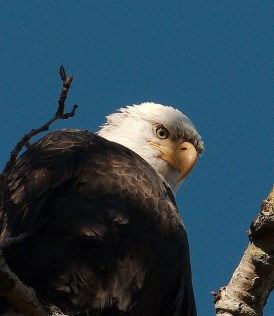 Bald Eagle (PS)