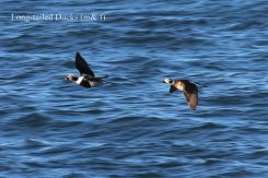 Long-tailed Duck pair (TC)