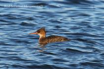 Red-breasted Merganser f. (TC)