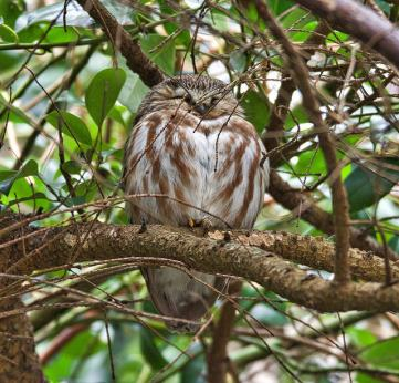 Northern Saw-whet Owl (BA)