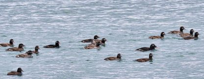 White-winged Scoter (BA)
