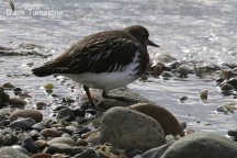 Black Turnstone (TC)