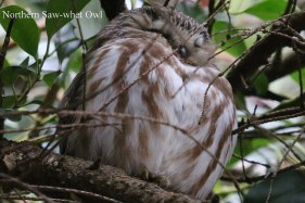 Northern Saw-whet Owl (TC)