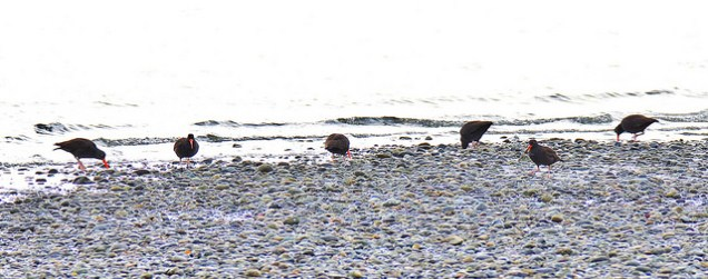 Black Oystercatchers (BA)
