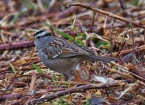 White-crowned Sparrow (BA)