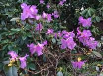 Rhododendron (Debbi Hlady)