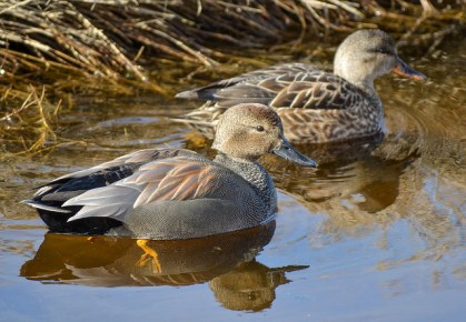 Gadwall pair (GB)