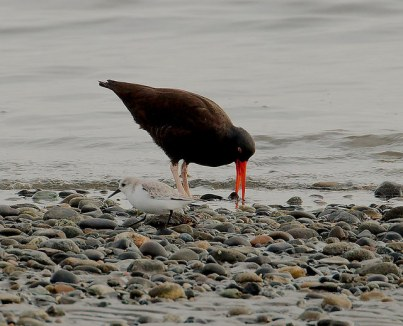 Black Oystercatcher (PS)