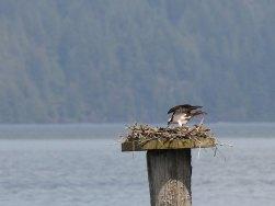 Osprey (JK)