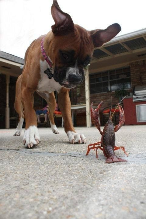 Funny Boxer Dog Pictures : funny, boxer, pictures, Reasons, Boxers, Hilarious
