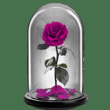 Παντοτινό τριαντάφυλλο - Φούξια Αποχυμωμένο φούξια τριαντάφυλλο