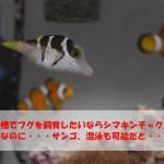 海水水槽でフグを飼育したいならシマキンチャクフグ!フグなのに・・サンゴ、混泳も可能だと・・・