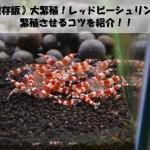 《保存版》大繁殖!レッドビーシュリンプを繁殖させるコツを紹介!