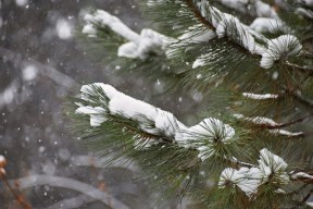 fir-tree fingers