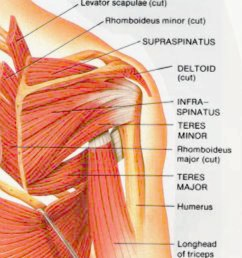 shoulder muscles posterior view [ 850 x 1022 Pixel ]