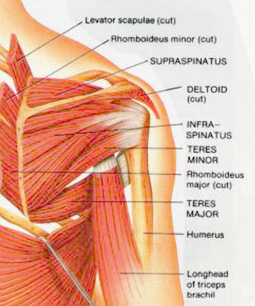 hight resolution of shoulder muscles posterior view