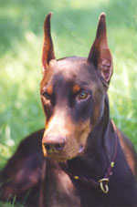 Doberman Puppies Nc : doberman, puppies, Doberman, Rescue, Triad, Homes, Abandoned,, Abused, Neglected, Pinschers