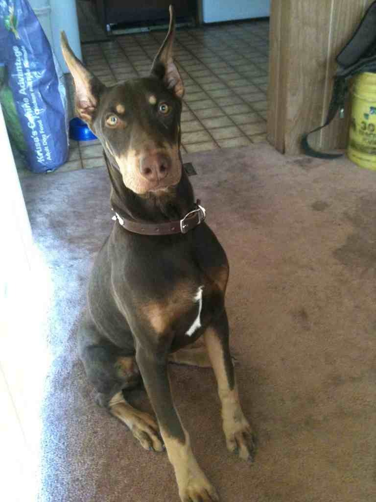 Doberman Pitbull Mix : doberman, pitbull, Doberman, Yawning, Forum, Breed, Forums