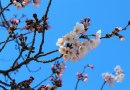 Japończycy powstrzymali proces starzenia się kwiatów