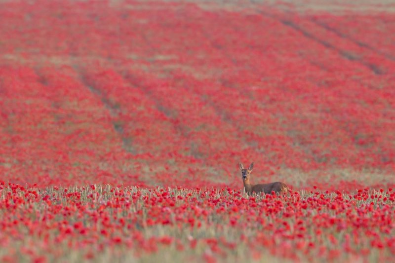 Roe deer Capreolus capreolus female in a poppyfield, Suffolk, July